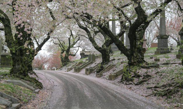 Пока все толпами идут в Центральный парк, чтобы посмотреть на цветение вишен и магнолий, едут в …